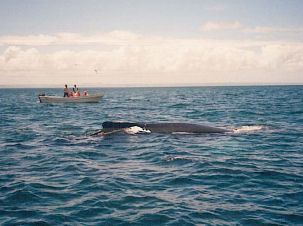 Whale Watching vor Samana