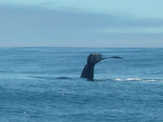 Whale Watching Monterey